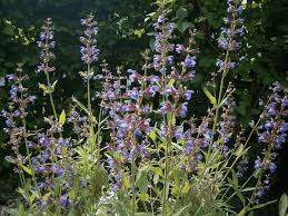 Sage with blue flowers